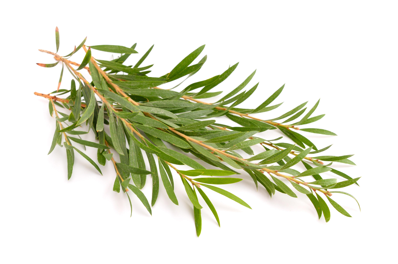 Tea Tree bladeren